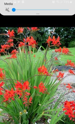 10x BULBS //CORMS CROCOSMIA MONTBRETIA CROCOSMIFLORA  RED LUCIFER PERENNIAL