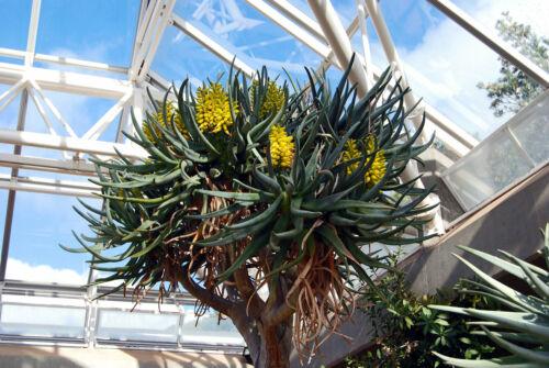 nataellis 10 SEEDS Aloe dichotoma,rare succulent plant