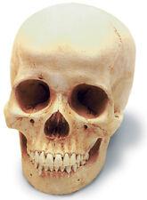 Human Female Skull Antique Finish 0201 New By Skullduggery