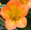 SIMBU-SUNSET-Vireya-Rhododendron-tropical-orange-yellow-flowers-plant-140mm-pot