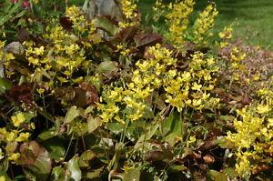 Epimedium-perralchicum-perennial-plant-ideal-ground-cover-9cm-pot