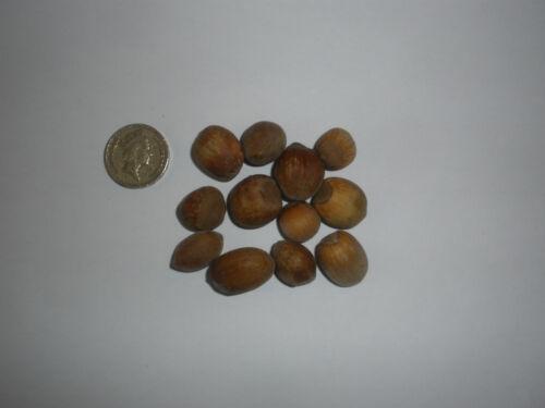 Nocciola,Corylus Avellana,Europeo Filbert,Europeo Nocciola 25 Semi