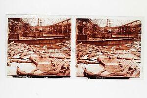 Museo-Histoire-Naturale-Coccodrillo-Parigi-Placca-Stereo-Vintage-Positivo-6x13cm