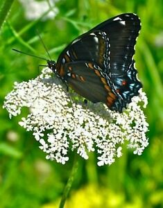 Queen Anne's Lace Seeds, Butterfly Garden Must, 2 packs!!!🔥 CabinFeverTrad