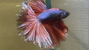 super halfmoon rosetail betta male