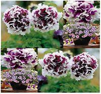 Pirouette Purple Petunia Flower Seeds - All American Winner Very Velvety Purple