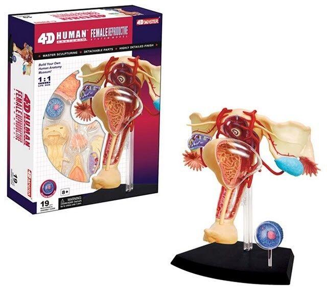 4d Female Reproductive Organs System Human Body Anatomy 3d Model
