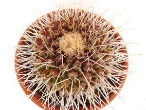20-Thelocactus-Rinconensis-Samen-semi-korn-Samen-no-Astrophytum-stapelia
