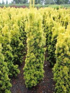 Taxus Baccata Fastigiata Aurea Golden Irish Yew Plant 9cm Pot Ebay