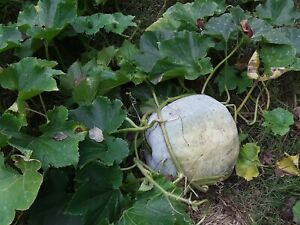 25 Winter Melon Seeds.Annual Vegetable.US grown seeds.