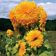 Sunflower Giant Sungold Seeds (Helianthus Annuus) 30+ Seeds