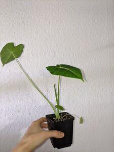 Alocasia-Micholitziana-Frydek-medium-rare-aroid-last-ones-before-winter