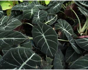 Elephant Ear Bulbs Perennial Resistant Taro Bonsai Black Velvet