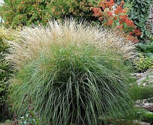 Miscanthus Sinensis Yakushima X 1 Free P When You 3 Items Dwarf