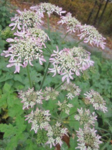 Heracleum sphondylium Prairies-berce plus de 30 graines indigènes plante