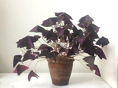 Oxalis Triangularis false shamrock rare house plant   eBay