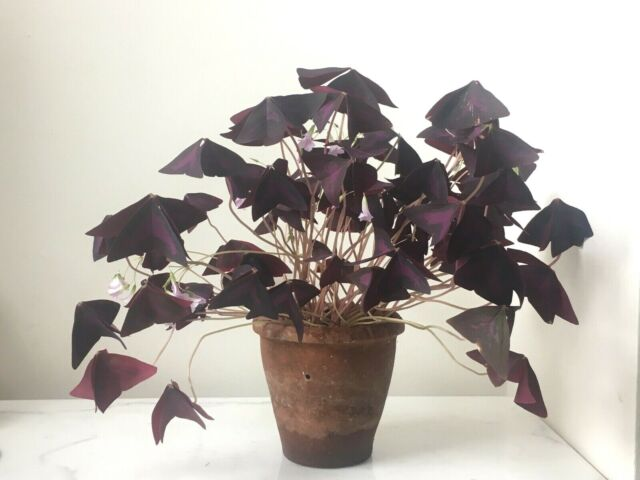 10 x Oxalis Triangularis purpurea bulbs FREE P/&P.