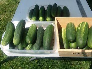 Cucumber, Straight 8, 25 Vegetable Seed, Organic, Heirloom NON-GMO, USA Seller