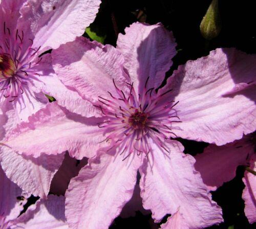 "Vine Pink Chiffon Clematis Hagley Hybrid 2.5/"" Pot"