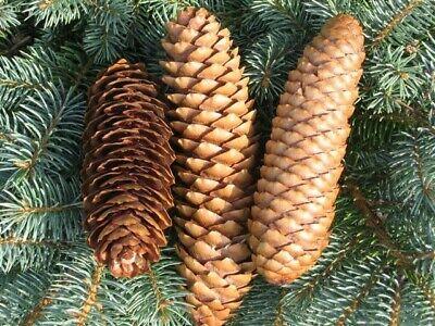 100 Natural Spruce Pine Cones Bulk Box Art Craft Wedding Decor