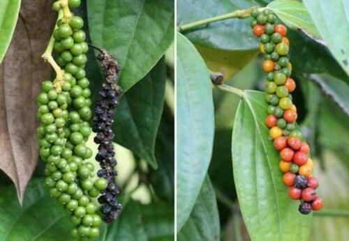 50 Piper Nigrum Black Pepper Plant Seeds  Mixed Spices Herbs Bonsai Garden Home