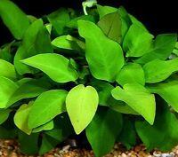 5 Assorted Anubias Freshwater Live Aquarium Plants