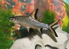 X12 BALA SHARK (BALANTIOCHEILUS MELANOPTERUS) FRESH WATER LIVE FISH
