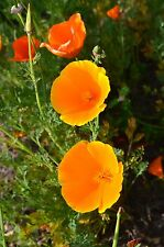 Kalifornischer Feuermohn,Goldmohn, Copper Queen Mohn Samen  50+