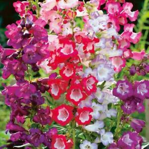 Flower-Penstemon-Sensation-mix-appx-800-seeds-Beardtongue
