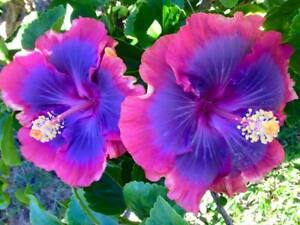 20 Pink Purple Blue Hibiscus Seeds Flower Tropical Garden Exotic
