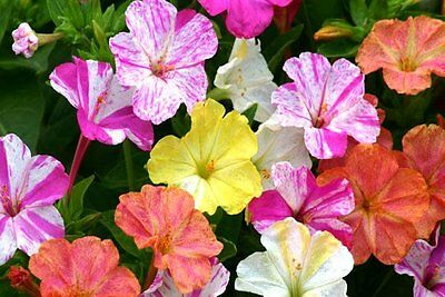 FLOWER MIRABILIS MARVEL OF PERU FOUR O'CLOCK MIX 500 SEEDS