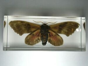 BIG-POPLAR-SPHINX-PACHYSPHINX-OCCIDENTALIS-Real-night-moth-embedded-in-resin