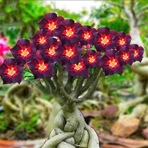 2 Rare Marron Noir Adenium Desert Rose Graines Feu Rouge Cœur Fleur