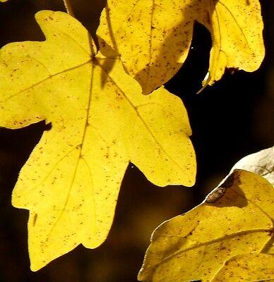 20 Samen Feldahorn (Acer campestre), Baum des Jahres 2015, auch für hohe Hecken