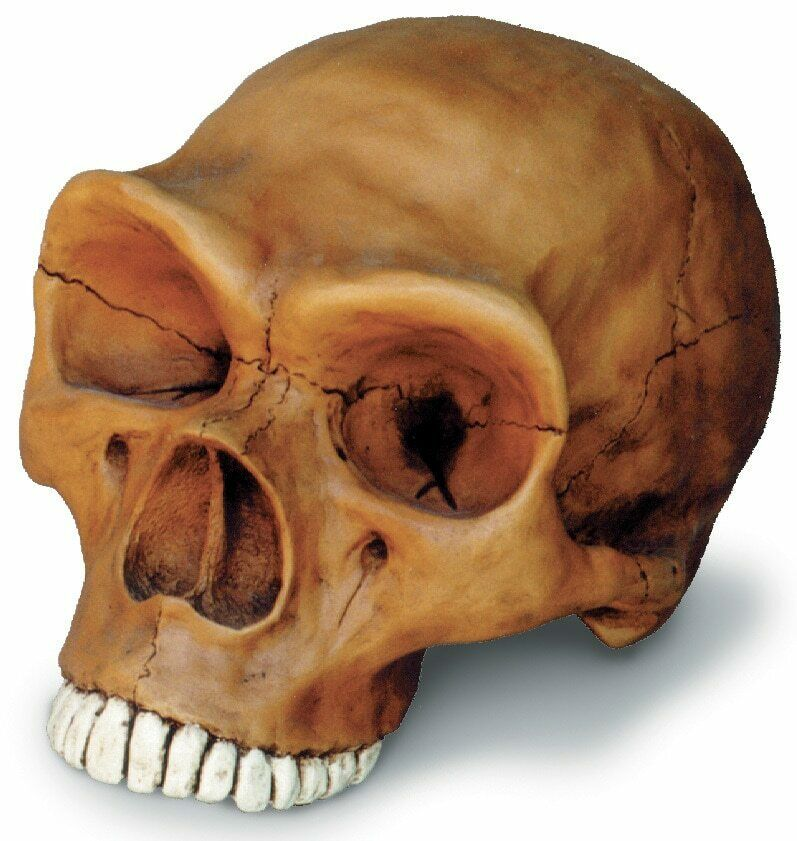 Neanderthal Hominid Cranium Full Scale Model Replica with Stand 9  x 6  x 6