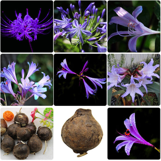 2Pcs Purple maryllis Bulbs Bonsai Flowers Home Garden   Bulbs Easy t