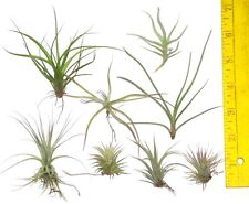 Lot of 8 different small tillandsia airplants.  Good for glass orbs air plants