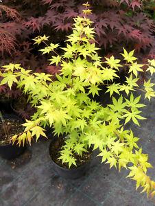 Acer-palmatum-Summer-Gold-80-100cm-Japanahorn-gelber-Faecherahorn