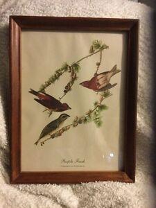 Vintage Framed AUDUBON Purple Finch Bird Print 10 X 13