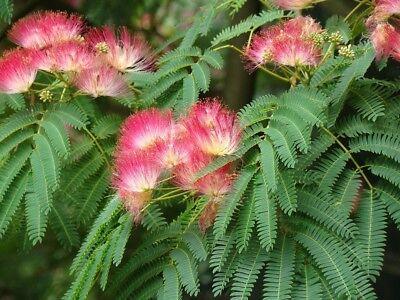 Mimosa Albizia Julibrissin 100 Seeds