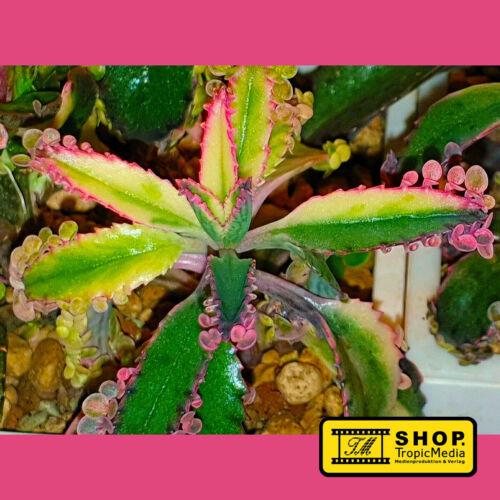 Kalanchoe x PINK BUTTERFLY 4 Seltene Kindle Goethe-Pflanze SPEZIALZÜCHTUNG