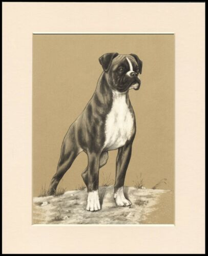 BOXER STANDING DOG LOVELY PRINT MOUNTED READY TO FRAME