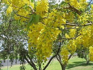 lluvia-de-oro-CASSIA-FISTULA-8-Semillas-arbol-Jardin-Flores-Garden-Semi