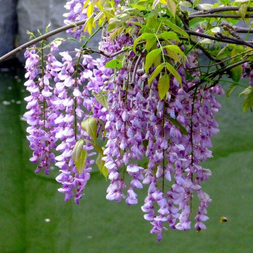5Stk Blauregen Wisteria floribunda Seeds  Lila Wisteria samen Garten-Pflanzen