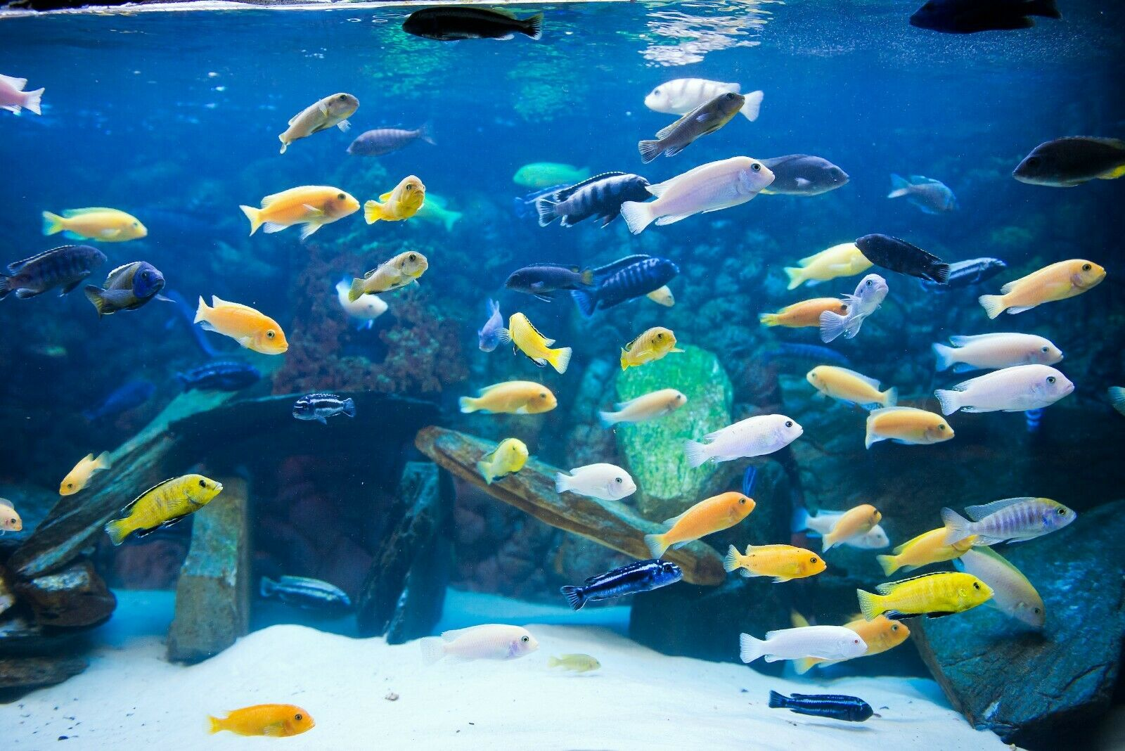 X25 Assorted South American Cichlids Sm Md Fresh Water Live Fish For Sale Online Ebay