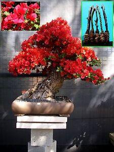 """Adaptable 5 Vert Bougainvillée """"scarlett-o-hara (rouge)"""" Arbre De Coupe-ra (red)"""" Tree Cutting Fr-fr Afficher Le Titre D'origine Une Offre Abondante Et Une Livraison Rapide"""