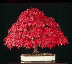 Candide Amur Maple - Bonsai 20 Semillas Seeds Circulation Sanguine Tonifiante Et Douleurs D'ArrêT