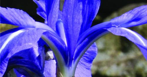 Iris laevigata Pond Plants Water Plants Marginal Pond Plants