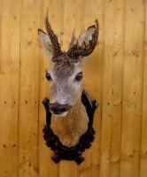 Rehbock-ABNORM -Tierpräparat-Ausgestopft-Geweih-Rehgeweihe-Präparat-Taxidermy