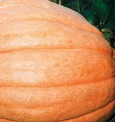 Pumpkin - Dills Atlantic Giant - 100 Seeds